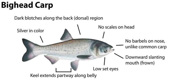 Bighead Carp | How To Identify Asian Carp Tip Of The Mitt Watershed Council